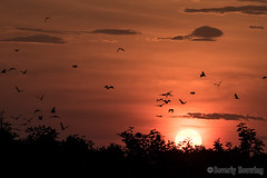 Kasanka-015 (Beverly Houwing) Tags: millions migration strawcoloredfruitbat kasankanationalpark northernzambia sunrise orange clouds sky silhouette flying roost sun forest trees africa
