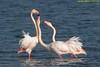 fenicotteri (taronik) Tags: animali acqua cacciafotografica natura uccelli fenicotterirosa comacchioedintorni