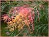grevillea  (2) (margaretpaul) Tags: garden homegarden flowers blooms grevillea