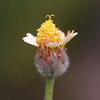 bngishakEOS 7D 0028990 (bngishak (Off..!!)) Tags: bngishak canoneos7d tinywildflower flower semop macro plant efs1855mmreverse