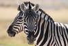 2 Faces, Namibia (reinaroundtheglobe) Tags: safari safarianimals animalsinthewild animals zebras wildlife etoshanationalpark namibia traveldestination touristdestination nopeople daytime sunlight closeup
