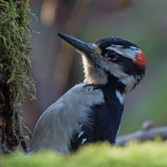Downy Woodpecker (nickinthegarden) Tags: downywoodpecker aldergrovelakeregionalpark langleybccanada