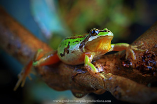 Alpine Tree Frog with vintage Leitz optic..