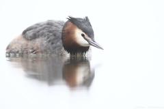 Great crested grebe (Mike Mckenzie8) Tags: british wild wildlife bird high key white water lake calm fog mist