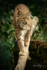 The Missing Lynx (yadrad) Tags: carpathianlynx flaviu lynx dartmoorzoologicalpark dartmoorzoo cat bigcats carnivore ngc