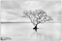 Lone Tree- (Jo Langtry) Tags: alone bay centralcoast clouds le lonetree nisifilters salamandabay salamandatree sonya7riii sonyfe24105f4goss tree water
