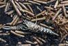 IMG_0356 (Adrian Royle) Tags: lincolnshire skegness gibraltarpointnnr nature wildlife marine beach shellfish crabs urchin lobster starfish nikon macro