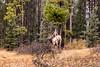 Elk, Tunnel Mountain Road, Banff (aud.watson) Tags: transcanadahighway alberta albertasrockies canadianrockies banffnationalpark banff tunnelmountainroad bowrivervalley bowriver improvementdistrictno9 canada ca forest wood trees tree conifers pines pine spruce animal elk