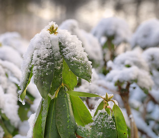 Rhododendron leaves, melting snow