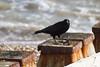 07_152129_0042_7D.jpg (Martin Alpin) Tags: crow groyne mussel