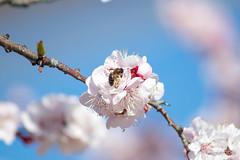 luna-floracion-polinizacion-cehegin-14