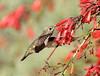 Anna's (C-O) Tags: feb 17corr147 arboretum bird annas hummingbird female inflight feeding bokeh nature arcadia ca