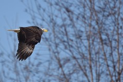 Bald Eagle day 1 (daverazzi) Tags: baldeagles buckscounty photography water birds sigma nikon