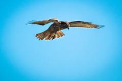 Mouse @ 12:00 High (Mule67) Tags: hunting hillsboro oregon jackson bottom wetland red tail hawk