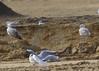 Caspian gull / Larus cachinnans / Pontische meeuw 2cy (Herman Bouman) Tags: caspiangull laruscachinnans pontischemeeuw 2cy