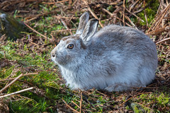Sitting Pretty (Tim Melling) Tags: lepus timidus mountain hare peak district south yorkshire timmelling