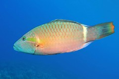 nice wrasse (BarryFackler) Tags: hawaii ocean marine water life fauna sea polynesia zoology bigisland marinelife tropical scuba 2018 animal underwater barryfackler pacificocean diver marineecology westhawaii creature organism honaunaubay kona sealifecamera vertebrate nature hawaiidiving sandwichislands seawater island marinebiology diving bay aquatic outdoor fish oxycheilinusunifasciatus ringtailwrasse poou wrasse ounifasciatus tropicalfish reeffish saltwaterfish pacific undersea hawaiiisland sealife biology being marineecosystem dive southkona honaunau ecology konacoast bigislanddiving barronfackler saltwater hawaiicounty konadiving seacreature hawaiianislands