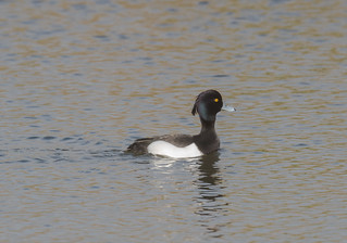 Tufted Duck DSTW 11-03-2018-4577