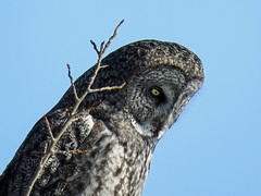 Watching and listening (annkelliott) Tags: alberta canada swofcalgary nature wildlife ornithology avian bird birds birdofprey owl greatgrayowl strixnebulosa strigiformes strigidae strix frontsideview adult perched tree branch deciduous sky blue outdoor winter 10march2018 canon sx60 annkelliott anneelliott ©anneelliott2018 ©allrightsreserved 31millionviews 31000000views 31millionthankyous