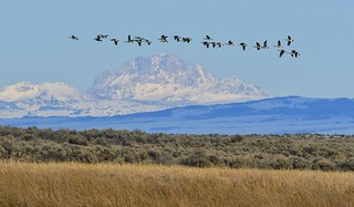 Migrating geese 3760
