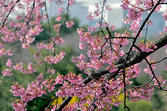 spring (katahai) Tags: kawazu cherry tree sakura bird nikon d810 tokyo