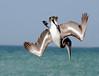 Eyes On The Prize -- Brown Pelican, Juvenile (Pelecanus occidentalis); Englewood Beach, FL [Lou Feltz] (deserttoad) Tags: bird wildbird wildlife nature park refuge florida pelican seabird young ocean water behavior