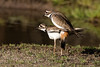 Spring is in the air (Brown Acres Mark (always 2 days behind)) Tags: mating killdeer charadriusvociferous buckhornspringsroad jacksoncounty oregon usa markheatherington