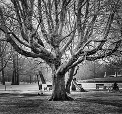Vondelpark (peterpj) Tags: amstrdamnikor 105 25 amsterdam nikkor tree boom vondelpark