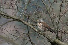 Fieldfare (finor) Tags: sony alpha a6500 ilce6500 sel100400gm nature wildlife animal bird fieldfare wacholderdrossel