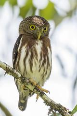 Central American Pygmy-Owl (fernaabs) Tags: central american pygmyowl glaucidium griseiceps lechuza mochuelo strigiformes strigidae fernaabs burgalin avesdecostarica
