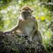 Crab-eating Macaque (Macaca fascicularis)