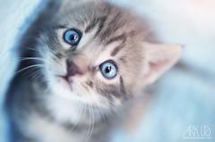 Burrito (Ark. Us.) Tags: bleu eyes baby cat kitty kitten feline pet portrait grey light tabby cute face whiskers catmoments