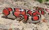 Western Milksnake [Lampropeltis gentilis] (kkchome) Tags: herping herp herpetology reptile snake milksnake western lampropeltis gentilis usa kansas flint hills flipping nature wildlife fauna