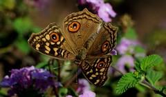 DSC_4277 (rajashekarhk) Tags: beauty bengaluru butterfly colours colour green nikon nature naturephotography cubbonpark karnataka southindia india rajashekar hkr