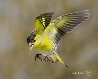 In flight Siskin