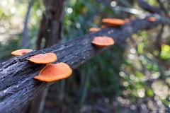 Orange bracket fungus/Pycnoporus coccineus (NettyA) Tags: 2017 australia glasshousemountains mtbeerwah orangebracketfungus pycnoporouscoccineus qld queensland scbwc sunshinecoast bushwalk bushwalking seqld fungi orange bokeh log arfp qrfp subtropicalarf arffungi orangearffungi pycnoporus polyporaceae bracketarffungi