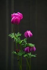 _DSC6365-copy (_dab_photography) Tags: sony slt a77 minolta 200mm 28 benro tripod flowers orchid