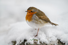 Brave Heart (http://www.richardfoxphotography.com) Tags: robin wistmansswood dartmoornationalpark sno snowy freezing bird