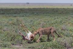 Preparing Sunday Lunch (Hector16) Tags: ndutu wildebeestmigration eastafrica tanzania serengeti migration wildlife nature arusharegion tz