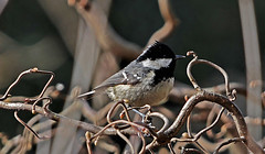 Cincia Mora DSC07106 (massimocenedese) Tags: cincia morabirds uccelli natura sony a6500nature
