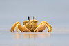Golden Ghost Crab (Ocypode convexa) (BenParkhurst) Tags: sand outback benparkhurst claw carapace exoskeleton goldenghostcrab eyestalks intertidal animal sea saltwater gnaraloostation westernaustralia ocean coast wild water crab 2017 wa ocypodeconvexa fauna yellow australia invertebrate coralcoast