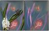 Hyacinth lumen print (julesnene) Tags: california flower ilfordmultigradefbwarmtone juliasumangil sunprint backyard flora julesnene lumen lumenart photogram alternativephotography paintedbythesun withoutalens