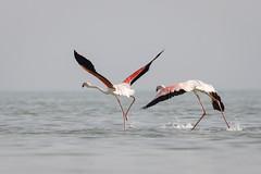 070A2709 (Cog2012) Tags: flamingo