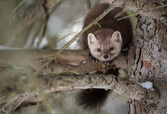 pInE mArtEn - martes americana (NicoleW0000) Tags: pinemarten americanmarten martesamericana mustelidae wild animal wildlife nature outdoor photography canada tree woods forest