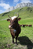 Col des Aravis, France (igorigor88) Tags: coldesaravis france francia europe europa auvergne rhones alpes rhonesalpes rodanoalpi rodano haute savoie hautesavoie alps alpi monuntains montagne vetta cima top mucca cow animal animale ombra shadow light luce sun sole summer estate august agosto cielo sky prato erba grass verde green blue azzurro clouds nuvole landscape paesaggio view vista travel trip vacation holiday viaggio vacanza gita nikon nikond3300 nature natura