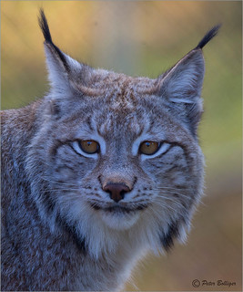 Portrait of a young lynx