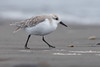 Playero blanco (smontane) Tags: aves birds calidris fauna faunachilena chile naturaleza desembocadura rio playeras oiseau bogel passaro