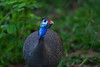 DSC_8405 (H Sinica) Tags: 博茨瓦納 botswana chobe chobenationalpark safari guineafowl 珍珠雞