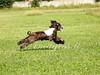 CoursingVillaverla2016w-079 (Jessica Sola - Overlook) Tags: dogs sighthounds afghanhounds greyhounds saluki barzoi italiangreyhounds irishwolfhounds lurecoursing lure race run dograces field greengrass