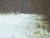 My first fox (dusk_rider) Tags: fox nikon d7200 55300mm nikkor vulpes hitchin hertfordshire england winter cold snowing path march beast from east 7dwf dusk rider
